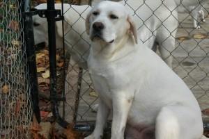 Yellow Labrador Retriever Female - Scooter