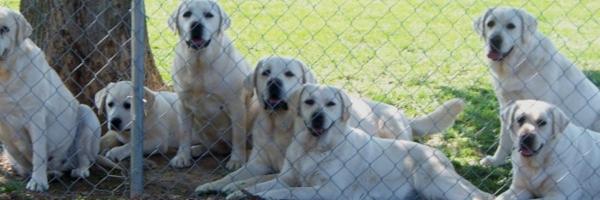 Labrador Retriever Breeders & Puppies For Sale in KY